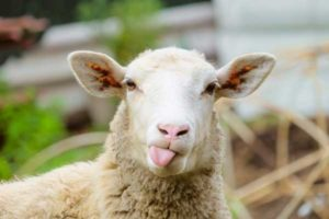 agrinatura-pecora-brianzola